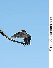 sec, cormoran, soleil, sien, lets, noir, ailes