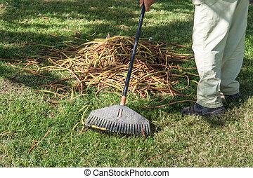 sec, feuilles, râteau, herbe verte, jardinier