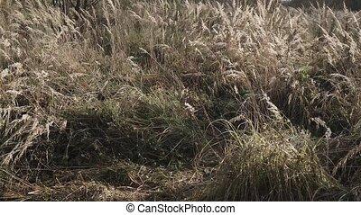 sec, herbe, oreilles, grand