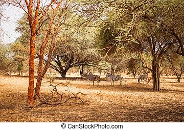 sec, vie, chaud, zèbres, arbres., safari., baobab, jungles, reserve., buisson, climat, afrique., sauvage, sous, sénégal, dissimulation, bandia