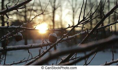 sec, winter., lent, branche, soleil, mort, mouvement, clair, vidéo, contre, fond, pommes