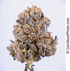 secado, cannabis, flor, (berry, noir, strain), aislado,...