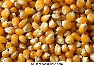 secado, macro, maíz, semillas, en, color anaranjado