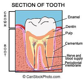 sección, diente