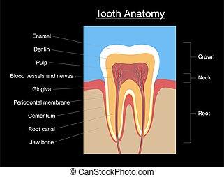sección, negro, médico, diente, gráfico, anatomía, cruz