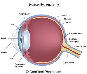 sección transversal, de, ojo humano, eps8