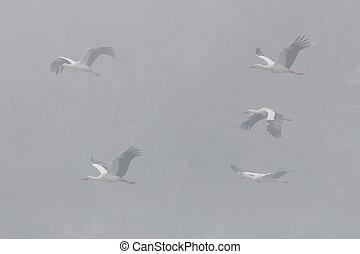 sechs, (ciconia), fliegendes, weißes, nebel, störche