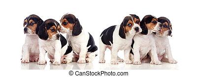 sechs, schöne , beagle, hundebabys
