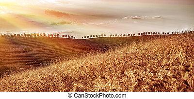 seco, dorado, campo de trigo
