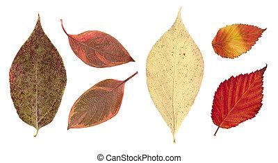 seco, hojas, aislado, otoño, Plano de fondo, blanco