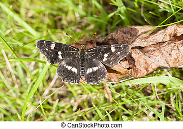 Second brood Map butterfly, Araschnia levana