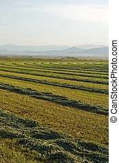 Second Cutting - A field of alfalfa waiting for the bailer.