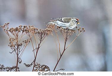 secos, inverno, flammea, carduelis, capim, pássaro