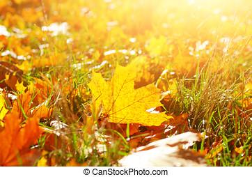 secos, maple, caído sai, ligado, grama verde, contra, luz sol