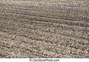 secos, plantas, terra, morto, cultivado