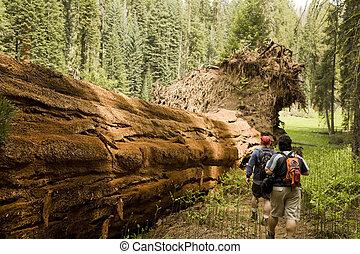 secoya, excursionismo, hombres, árbol, por, caído