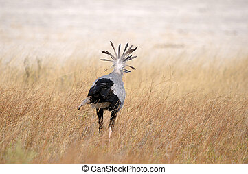 Secretary Bird, Etosha National Park
