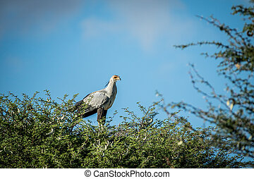 Secretary bird in a tree in the Kalagadi.