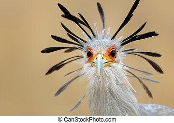 Secretary bird portrait - Close-up portrait of a secretary ...