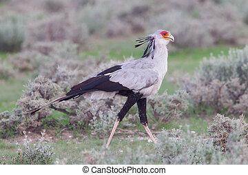 Secretary Bird, Sagittarius serpentarius in grass