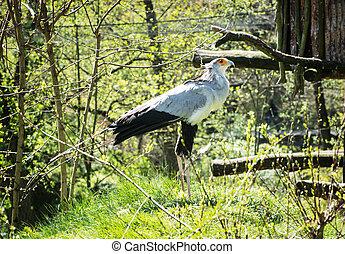 Secretary bird (Sagittarius serpentarius) watching around
