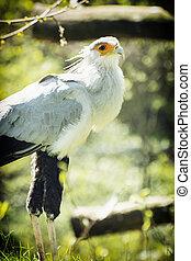 Secretary bird (Sagittarius serpentarius) watching around, animal theme
