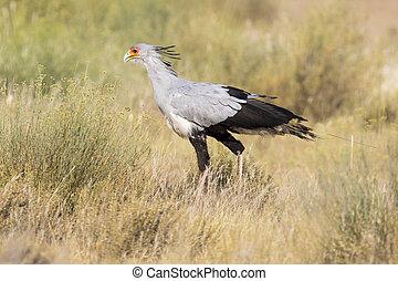 Secretary bird strolls though grass in Kalahari looking for prey