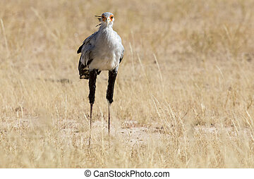 Secretary bird strolls though grass in Kalahari looking for prey