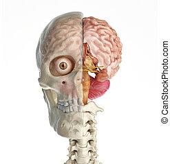 section, brain., croix, crâne, humain