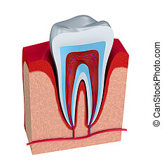 Section of the tooth. pulp with