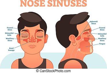 section., sinuses, crucifixos, ilustração, anatômico, vetorial, nariz