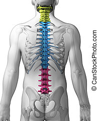 Sections of the spine - 3d rendered illustration - sections ...