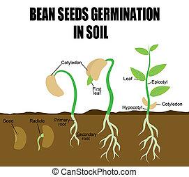 secuencia, de, frijol, semillas, germinación