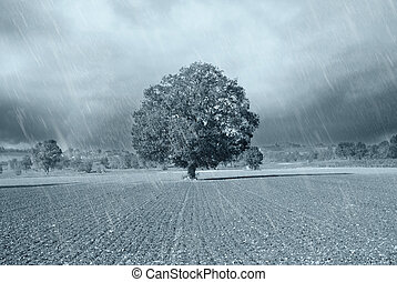 secular oak under the rain