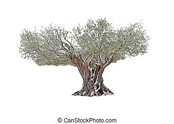 Secular Olive Tree isolated on white background. - Secular...