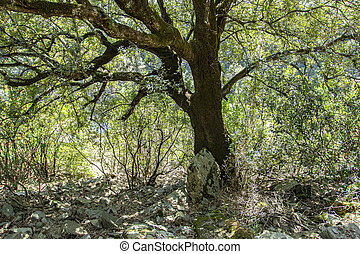 Secular tree in Sardinia 4
