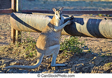 sedento, ágil, wallaby