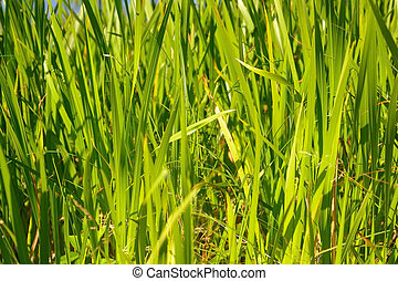 Sedge background. - Sedge green grass close-up, may be used ...