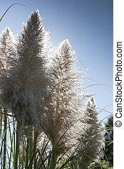 Sedge - Beatiful sedge flowers on a sunny day