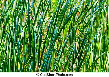 Sedge grass background - Nature background with sedge grass ...