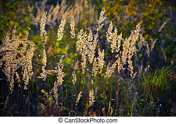 Sedge grass on a background of sunny light