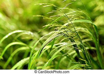 Sedge grass with dew