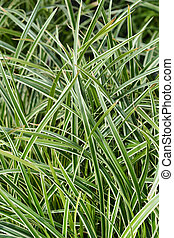Sedge Ice Dance - Latin name - Carex morrowii Ice Dance
