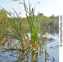 Sedge on the banks of a small river.