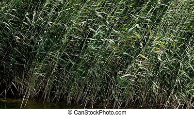 Reed swaying in the wind