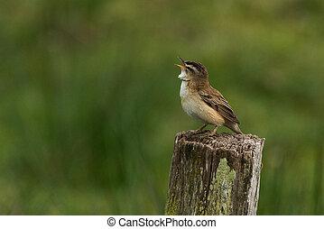 Sedge warbler Acrocephalus schoenobaenus sitting on a flock
