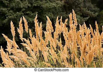 Sedge - Yellow sedge reed closeup, Caucasus