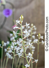 sedirea japonica. branch of small white orchid flowers