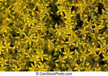 Sedum acre - yellow little flower (Sedum acre) as background