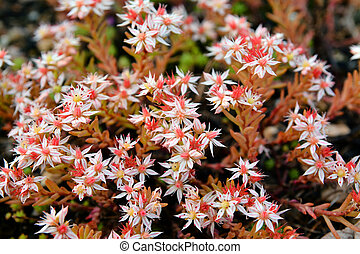 sedum acre wild perennial flowers. also known as goldmoss or...